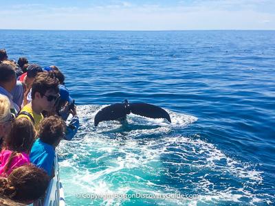 Whale watching cruise near Boston