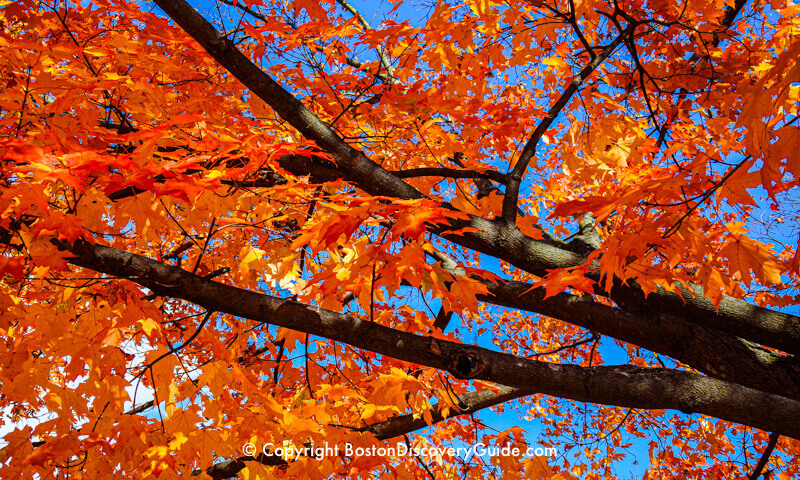 Orange, gold, and crimson leaves in New Hampshire