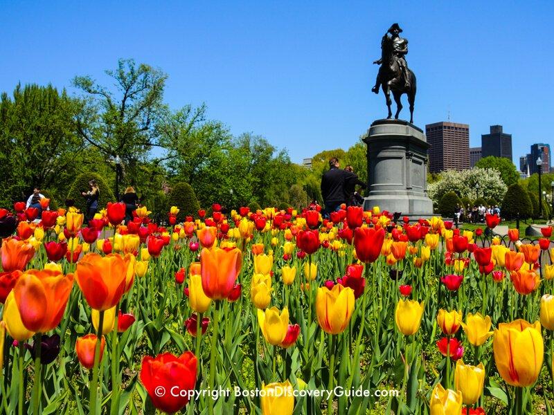 Tulips in Boston Public Garden