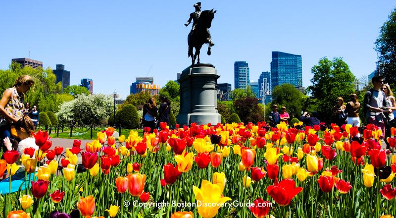 Tulips blooming in Boston's Public Garden