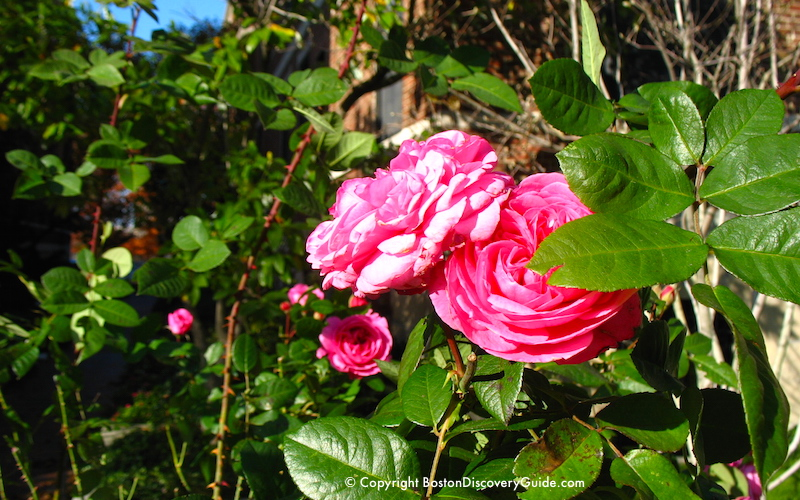 Boston weather in November - Roses in bloom in the Public Garden