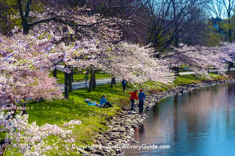 Flowering cherry trees in April along the Esplanade