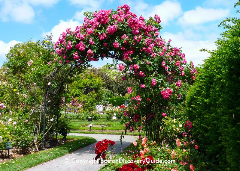 Roses in Kelleher Rose Garden in mid-June