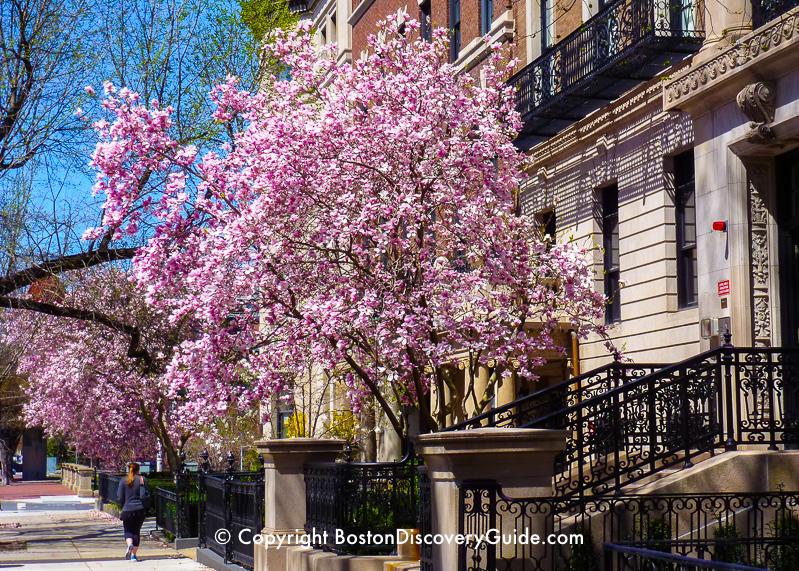 Saucer magnolias along Marlborough Street in mid-May