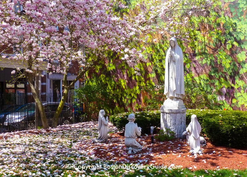 "Magnolias blooming in late April in the ""Peace Garden"" courtyard in front of Saint Leonard's Church in Boston's North End"