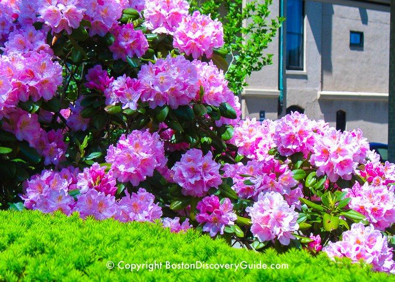 Rhododendrens blooming in Boston's Back Bay neighborhood in late May