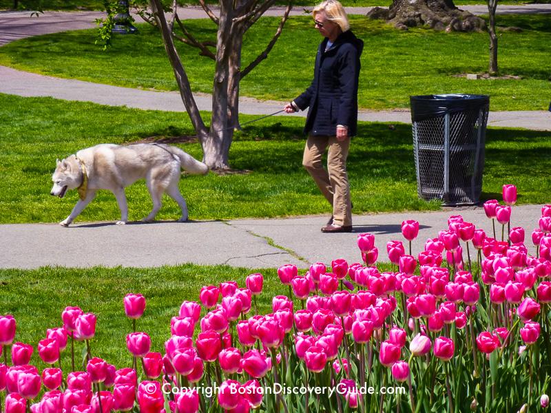 Pink tulips in Boston's Public Garden in mid-April