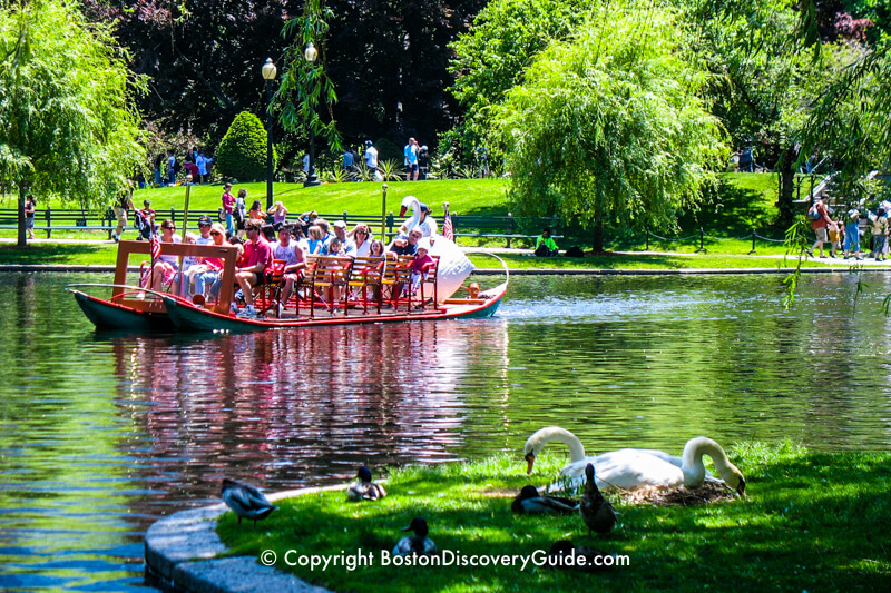 Real swans nesting next to the Lagoon as a Swan Boat glides by