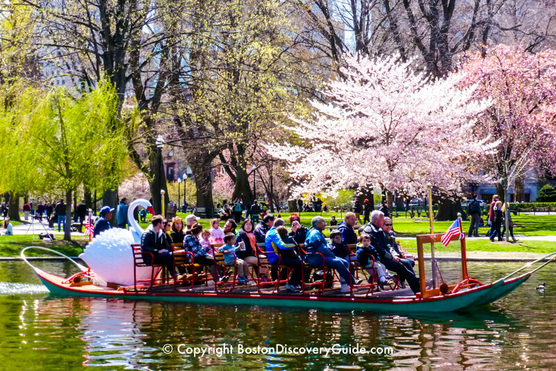 Swan boat passing Public Garden cherry trees in bloom during April