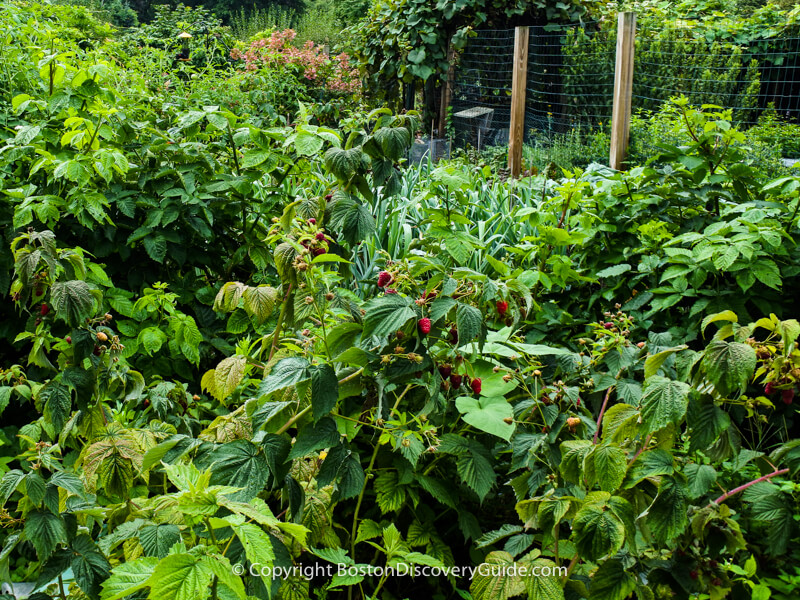 This garden contaiins a large raspberry patch