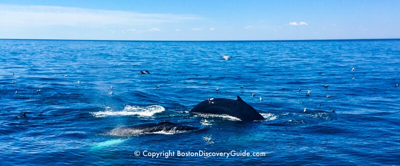 Whales spotted during a Boston whale watching cruise