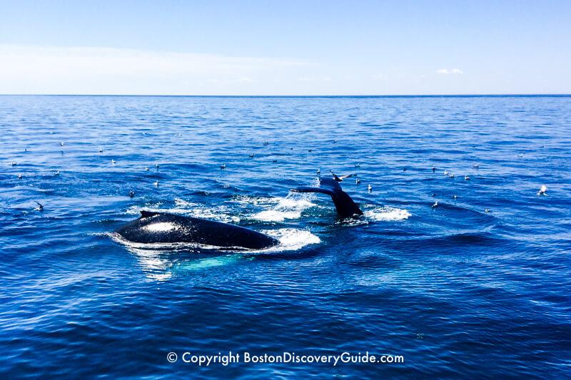 Whales breaching in Stellwagen Bank National Marine Sanctuary