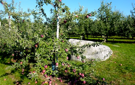Apples on trees in Doe Orchards, Harvard MA