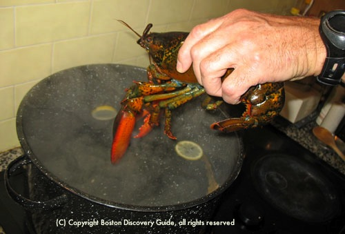 Putting lobster head first into boiling water / How to Boil Lobster - www.boston-discovery-guide.com