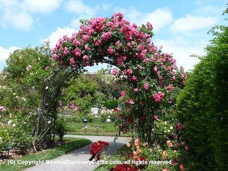 Rose arbor in Kelleher Rose Garden in Boston's Back Bay Fens