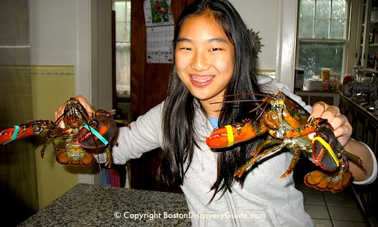 Lobsters for favorite Boston and New England Lobster Roll Recipe