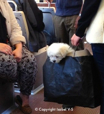 Dog in a shopping bag on Boston's subway